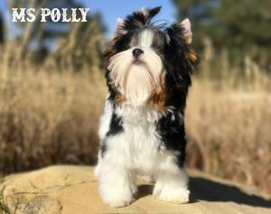 Ms Polly Biewer Terrier Girl