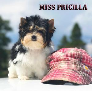 Mini Biewer Terrier Girl Miss Pricilla