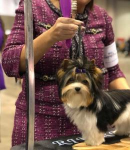 Rocky Mountain Biewer Terriers AKC CHampionship 2017 Orlando Florida-19