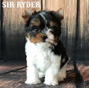 Sir Ryder AKC Standard Biewer Terrier