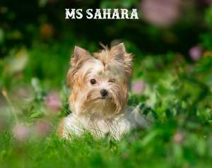 Ms Sahara Mini Golddust Girl