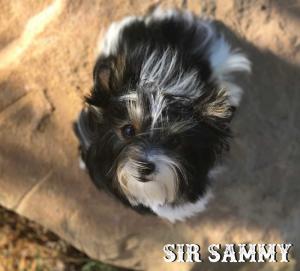 Biewer Puppy Sir Sammy