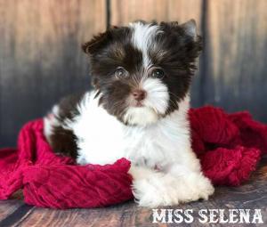 Miss Selena AKC Chocolate Biewer Terrier Puppy