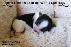 Rocky Mountain Biewer Terrier Puppy Sir Domingo
