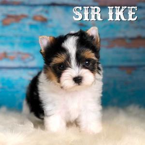 Sir Ike Biewer Terrier Puppy