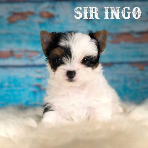 Sir Ingo Biewer Terrier Puppy