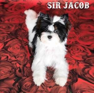 Sir Jacob Biewer Yorkie Puppy