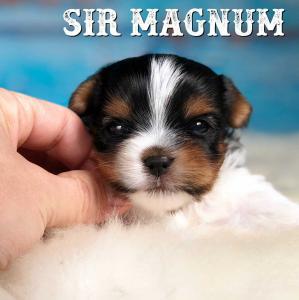 Biewer Terrier Puppy Sir Magnum