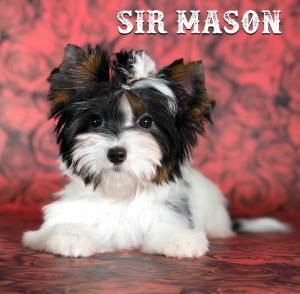 Mini Biewer Puppy Boy Sir Mason