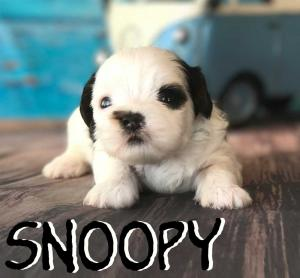ocky Mountain's Sir Snoopy