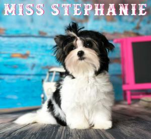 Biewer Puppy Miss Stephanie