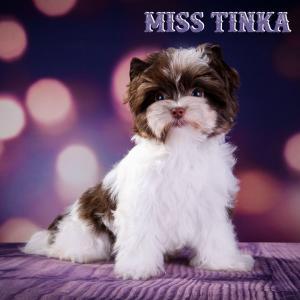 Miss Tinka Chocolate Biewer Puppy