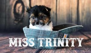 Miss Trinity AKC Mini Biewer Terrier Puppy