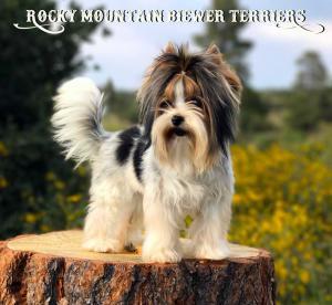 Biewer Terrier Puppy Cut