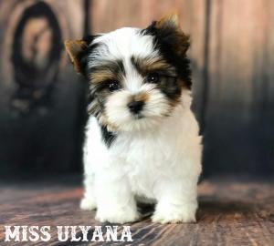 Miss Ulyana AKC Biewer Terrier Girl