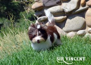 Vincent Chocolate Biewer Terrier