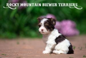 Chocolate Biewer Terrier Puppy Sir Vincent