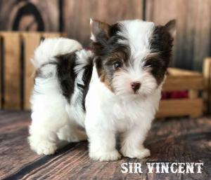 Sir Vincent AKC registered Chocolate Biewer Terrier
