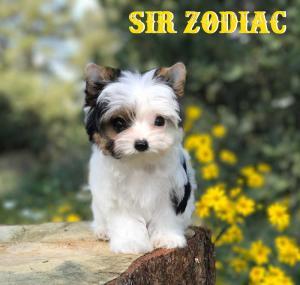 Sir Zodiac Mini Biewer Terrier Boy