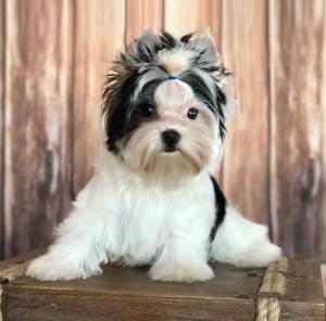 Sir Zorro Rocky Mountain Biewer Terrier Puppy