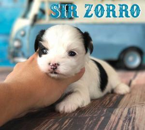 Biewer Terrier Puppy Sir Zorro