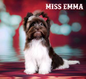 Chocolate Biewer Terrier Girl Miss Emma