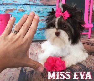 Miss Eva Mini Chocolate Biewer Girl