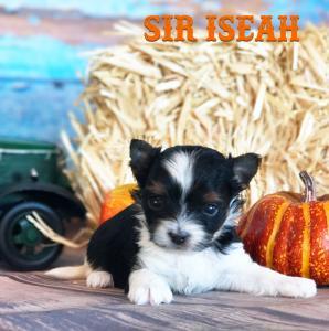 Biewer Terrier Puppy Sir Iseah