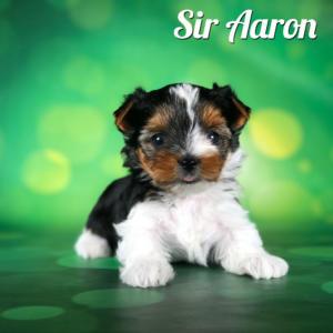 Biewer Terrier Puppy Sir Aaron
