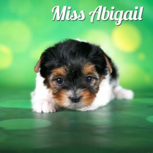 Biewer terrier Puppy Miss Abigail