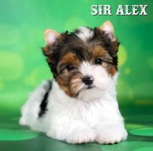Rocky Mountain Biewer Terrier Puppy Boy Sir Alex