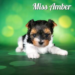 Biewer Terrier Puppy Miss Amber