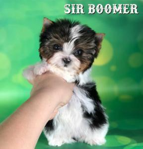 Boomer-Mini-10-weeks-1