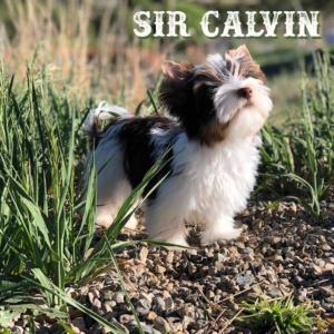 Biewer Terrier  Calvin-3