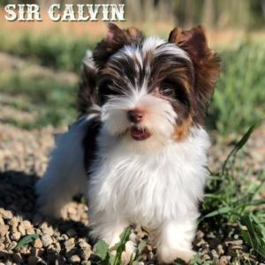 Biewer Terrier  Calvin-6