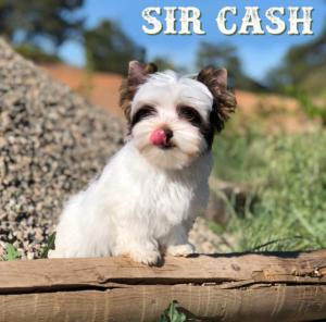 Biewer Terrier Cash-3