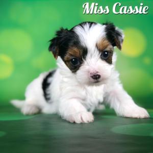 Biewer Terrier Puppy Miss Cassie