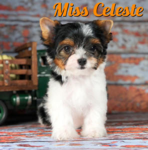 Biewer Puppy Celeste