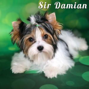 Biewer Puppy Sir Damian