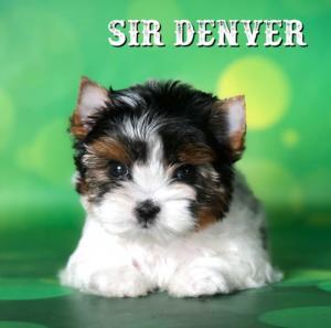 Denver-Biewer-Puppy