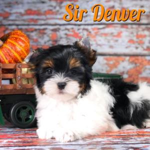 Denver Biewer Puppy