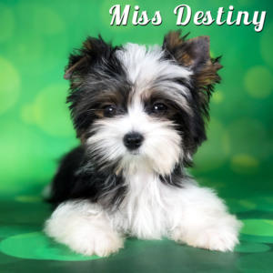 Mini Biewer Terrier Puppy Miss Destiny
