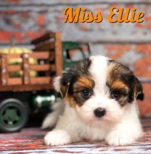Ellie Biewer Puppy
