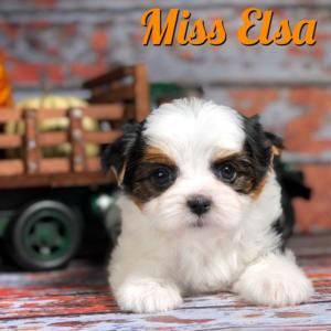 Biewer Puppy Miss Elsa
