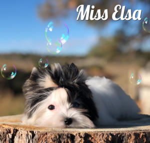 Biewer Terrier Miss Elsa