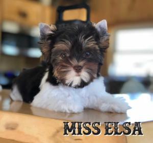 Biewer Terrier Elsa-ready