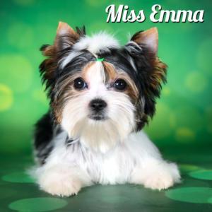 Emma Biewer Terrier