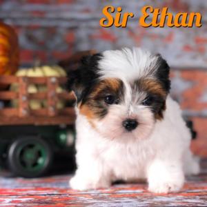 Biewer Puppy Ethan