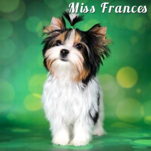 Mini Biewer Terrier Puppy Miss Frances