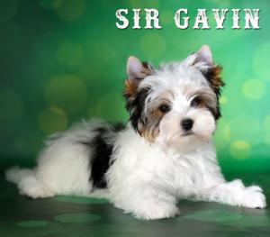 Biewer Terrier Biewer Puppy Gavin